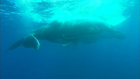 Whales, Humpback, mother and calf, at surface, rubbing backs on rough swell Tonga, South Pacific Ocean