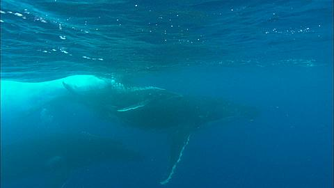 Whales, Humpback, mother, calf, escort, wall other males following Tonga, South Pacific Ocean
