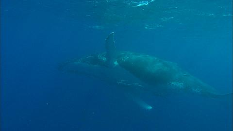 Whales, Humpback, mother and calf, mother belly to camera Tonga, South Pacific Ocean