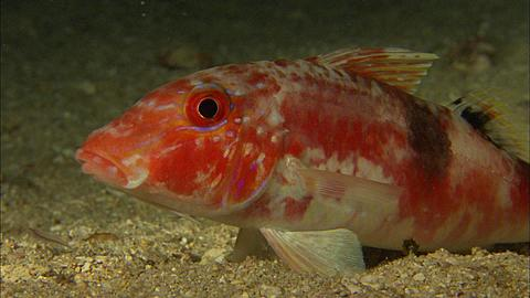 Goatfish, on sandy bottom, oblique head shot, Tonga, South Pacific Ocean