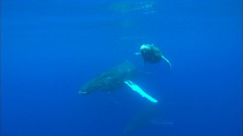 Whales, Humpback, mother and calf, escort, calf to surface, calm water Tonga, South Pacific Ocean