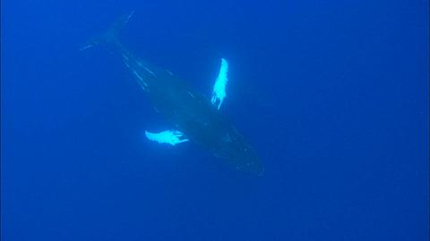 Whales, Humpback, mother and calf, escort, pass by under camera, calf turns on side Tonga, South Pacific Ocean