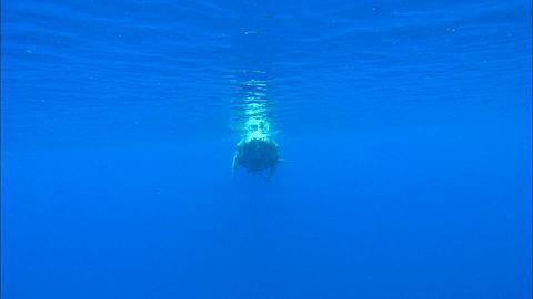 Whales, Humpback, calf at surface to camera, Tonga, South Pacific Ocean