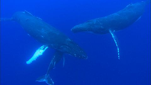 Whales, Humpback, mother and calf, escort, Rest. Tonga, South Pacific Ocean