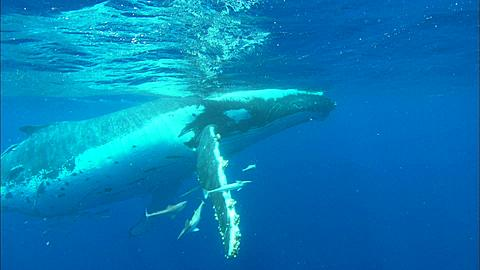 Whales, Humpback, mother and calf, surface, mother dives followed by calf, Tracking. Tonga, South Pacific Ocean