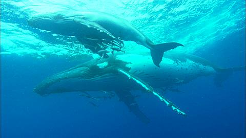 Whales, Humpback, mother and calf then dive to bottom Tonga, South Pacific Ocean