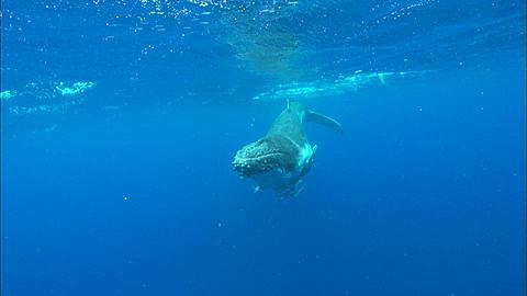 Whales, Humpback, calf surfaces, nose to camera, great eye shot Tonga, South Pacific Ocean