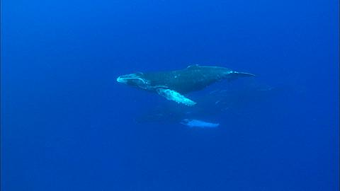Whales, Humpback, mother and calf, calf toward slowly to surface Tonga, South Pacific Ocean