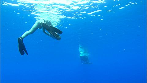 Cameraman films, Whales, Humpback, calf to Cameraman, dives away, camera follows. Tonga, South Pacific Ocean