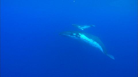 Whales, Humpback, mother and calf swim by to surface Tonga, South Pacific Ocean