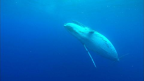 Whales, Humpback, mother and calf, mother belly to camera at surface Tonga, South Pacific Ocean