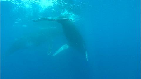 Whales, Humpback, mother and calf, fluke shot diving Tonga, South Pacific Ocean