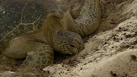 Green turtle (Chelomia mydas) digging, front view, Aldabra, Indian Ocean