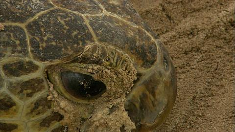 Green turtle (Chelomia mydas), head, flipper, Aldabra, Indian Ocean