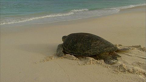 Green turtle (Chelomia mydas), moves back to sea, Aldabra, Indian Ocean