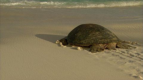 Green turtle (Chelomia mydas), moves back to sea Aldabra, Indian Ocean