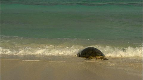 Green turtle (Chelomia mydas), moves back into sea Aldabra, Indian Ocean