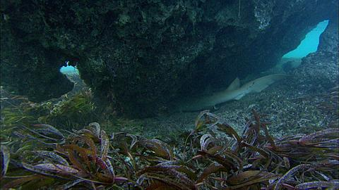 Tawny nurse shark, Nebrius ferrugineus, under rock outcrop, resting, side view, Aldabra, Indian Ocean