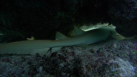 Tawny nurse shark, Nebrius ferrugineus, under rock outcrop, resting, head, Aldabra, Indian Ocean