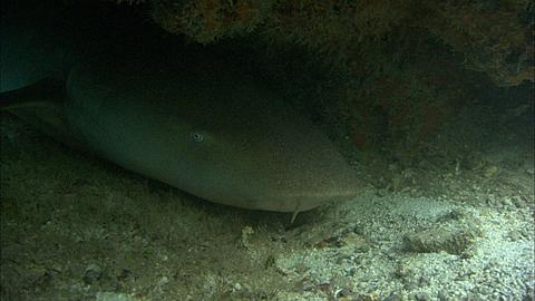 Tawny nurse shark, Nebrius ferrugineus, under rock outcrop, Aldabra, Indian Ocean