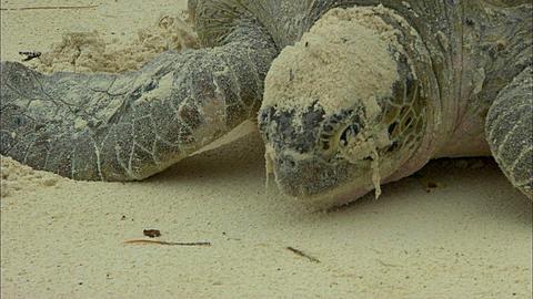 Green turtle, Chelonia mydas, Aldabra, Indian Ocean