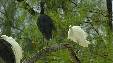 Dimorphic egrets, Egretta dimorpha, roost, Aldabra, Indian Ocean