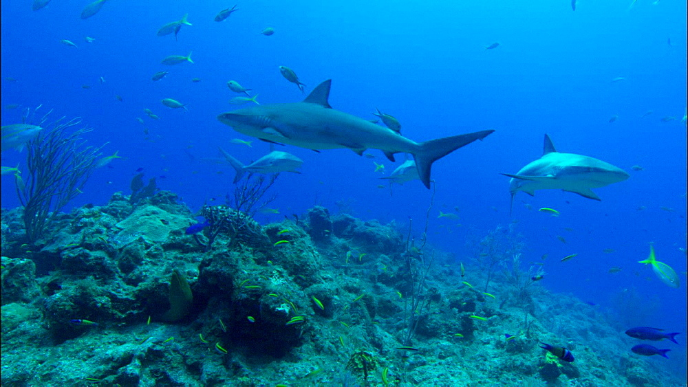Caribbean reef sharks, Carcharhinus perezi, swims over reef, over camera, Bahamas - 1010-2918