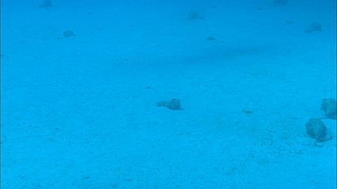 Shark shadows of bull shark, Carcharhinus leucas, Bahamas