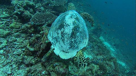 Hawksbill Turtle (Eretmochelys imbricata) cleaning station, looking for food, Maldives, Indian Ocean