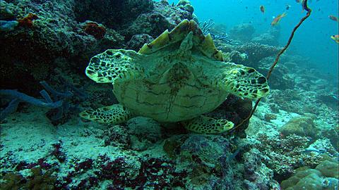 Hawksbill Turtle (Eretmochelys imbricata) looking for food under ledge, head down, and away, Maldives, Indian Ocean