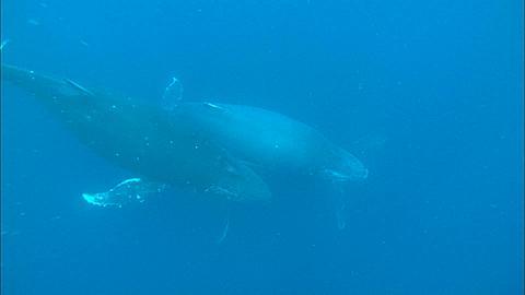Humpback Whales (Megaptera novaeangliae) below, Maldives, Indian Ocean