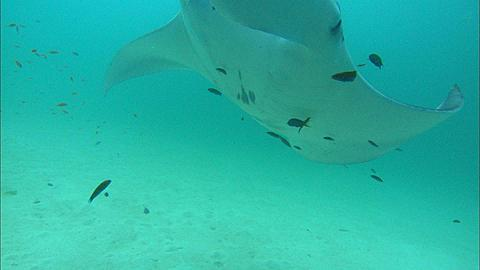 Manta hovers over reef to be cleaned, Maldives, Indian Ocean