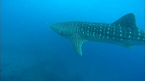 Whale shark (Rhincodon typus) swimming near seabed, Seychelles, Indian Ocean  - 1010-3323