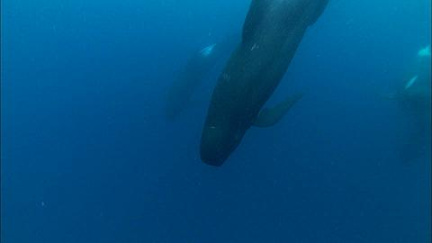 False killer whales (Pseudorca crassidens) pod, dive down, pass, beneath, South Africa