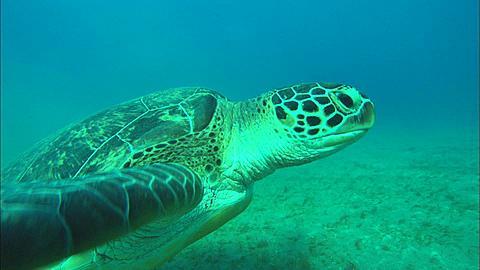 Turtle. Abu Dhabi, United Arab Emirates, Gulf