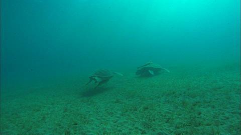 Turtle meets turtle. Abu Dhabi, United Arab Emirates, Gulf