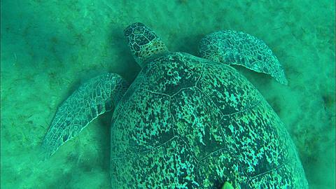 Turtle feeding. Abu Dhabi, United Arab Emirates, Gulf