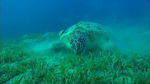 Remora and turtle feeding. Abu Dhabi, United Arab Emirates, Gulf