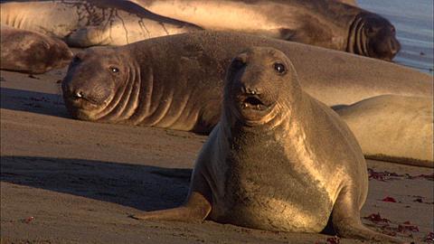 Southern Elephant Seals (Mirounga leonina) pups at beach. San Simeon, California, Pacific