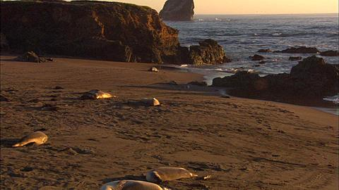 Southern Elephant Seals (Mirounga leonina) Sleep at beach. San Simeon, California, Pacific