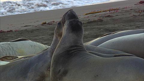 Southern Elephant Seals (Mirounga leonina) Spar at beach with pups fighting. San Simeon, California, Pacific