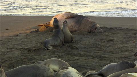 Southern Elephant Seals (Mirounga leonina) Beach spar. San Simeon, California, Pacific