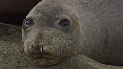 Southern Elephant Seals (Mirounga leonina) beach. San Simeon, California, Pacific