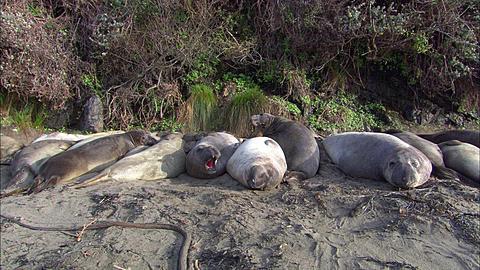 Southern Elephant Seals (Mirounga leonina) Harem sleeping on beach. San Simeon, California, Pacific