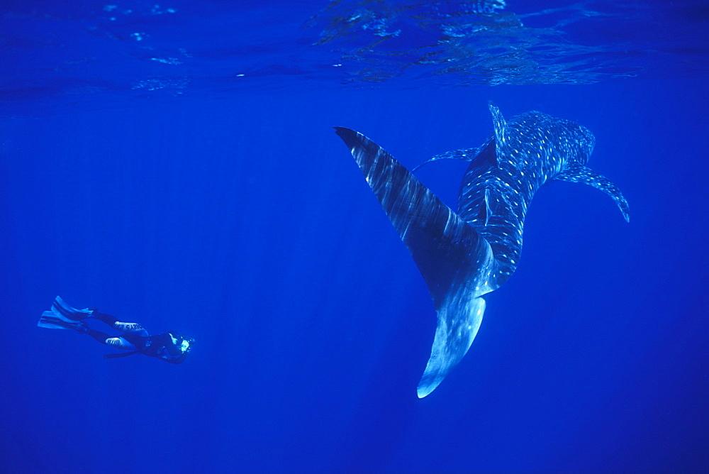 Whale Shark & snorkeler. Ningaloo, Australia - 1012-101