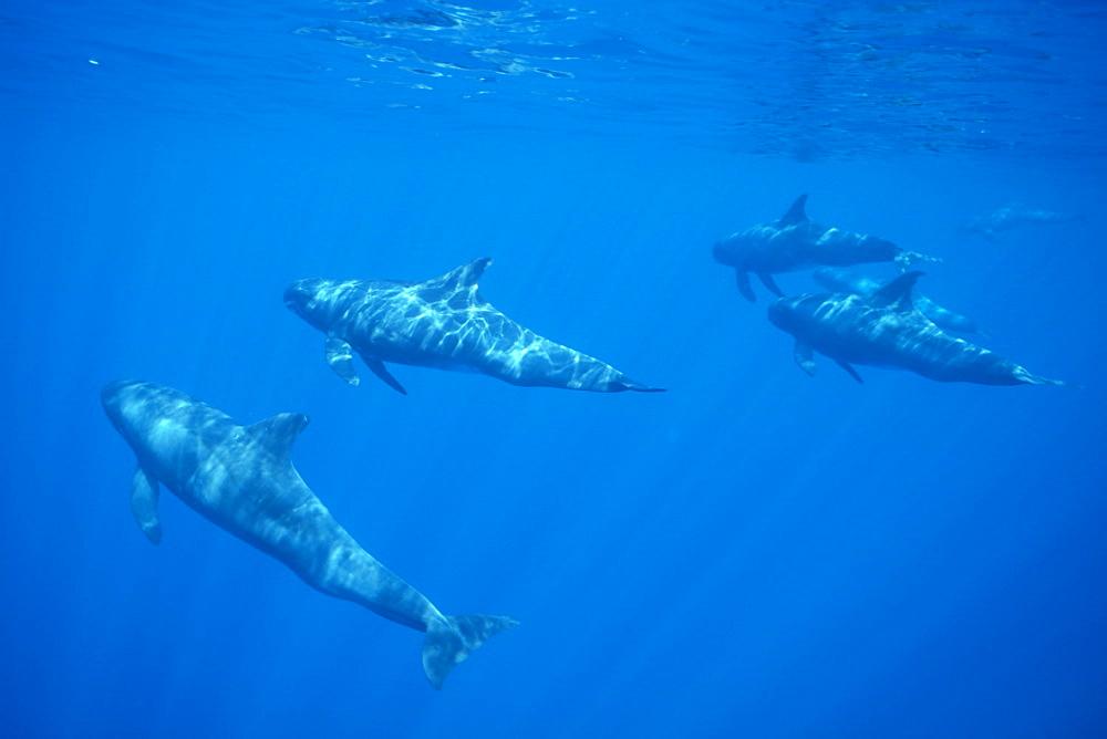 Pygmy killer whale (Feresa attenuata) travelling pod in dappled light. Hawaii. - 1012-11