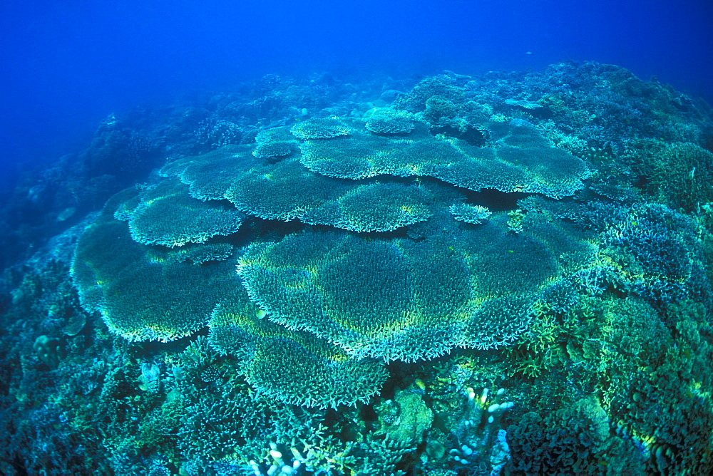Plate Corals, Coral Fields. Gorontalo, Sulawesi, Indonesia - 1012-125