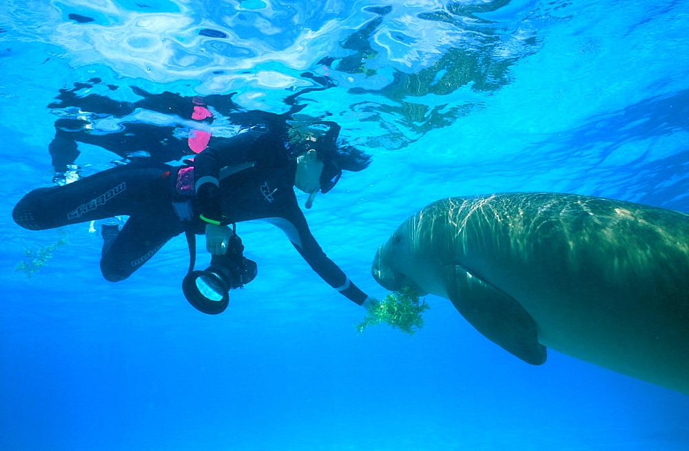 Wild Dugong (Dugong dugong) taking sea grass from snorkeler. Kota Kinabalu, Sabah, Malaysia. - 1012-127