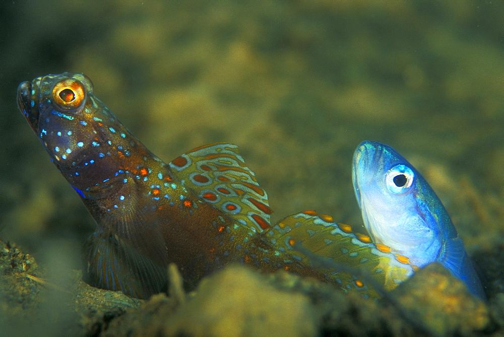 Metallic Shrimp Goby (Amblyeleotris latifasciata) and Threadfin Dartfish, (Ptereleotris hanae) together living in the same hole. Gorontalo, Sulaweis, Indonesia