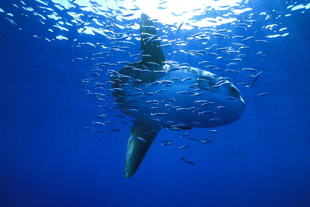 Oceanic Sun Fish (Moon Fish or Mola Mola)  and Sardines. Azores, Portugal, Atlantic